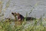 10 hippos